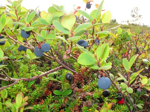 Blueberries everywhere