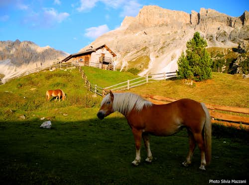 Avelignese horse at Alpe di Cisles
