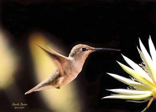 Hummer and cereus bloom