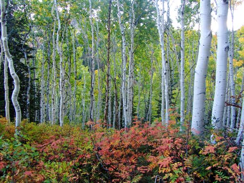 Broads Fork aspens