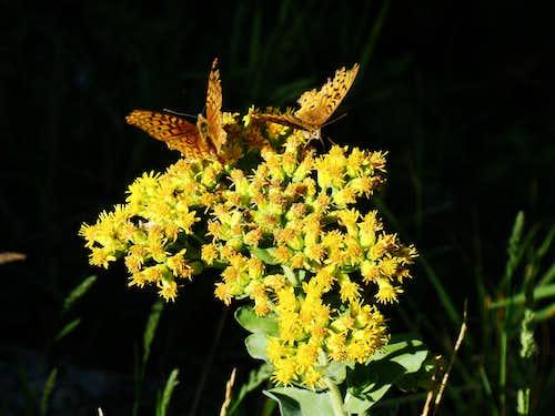 Veterans Peak Butterflies