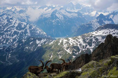 Ibexes in front of the Berner Alps 4000m peaks