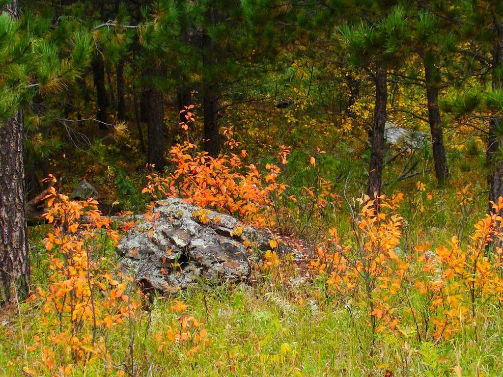Samelias Fall Color