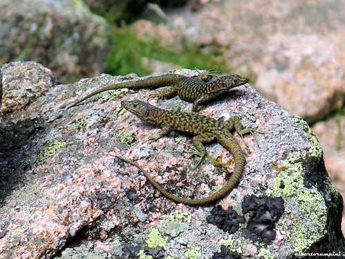 Couple of autoctonous lezards (Biciartula in Corsican)