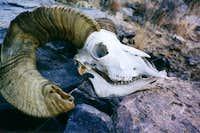 Bighorn Sheep skull found on...