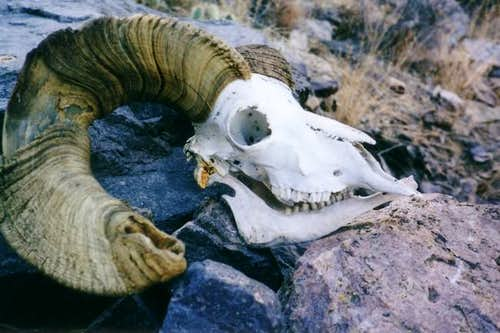 Bighorn Sheep skull found on...