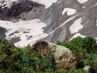 Fat Marmot!