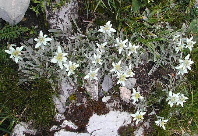 Edelweiss in Val di Rhêmes...