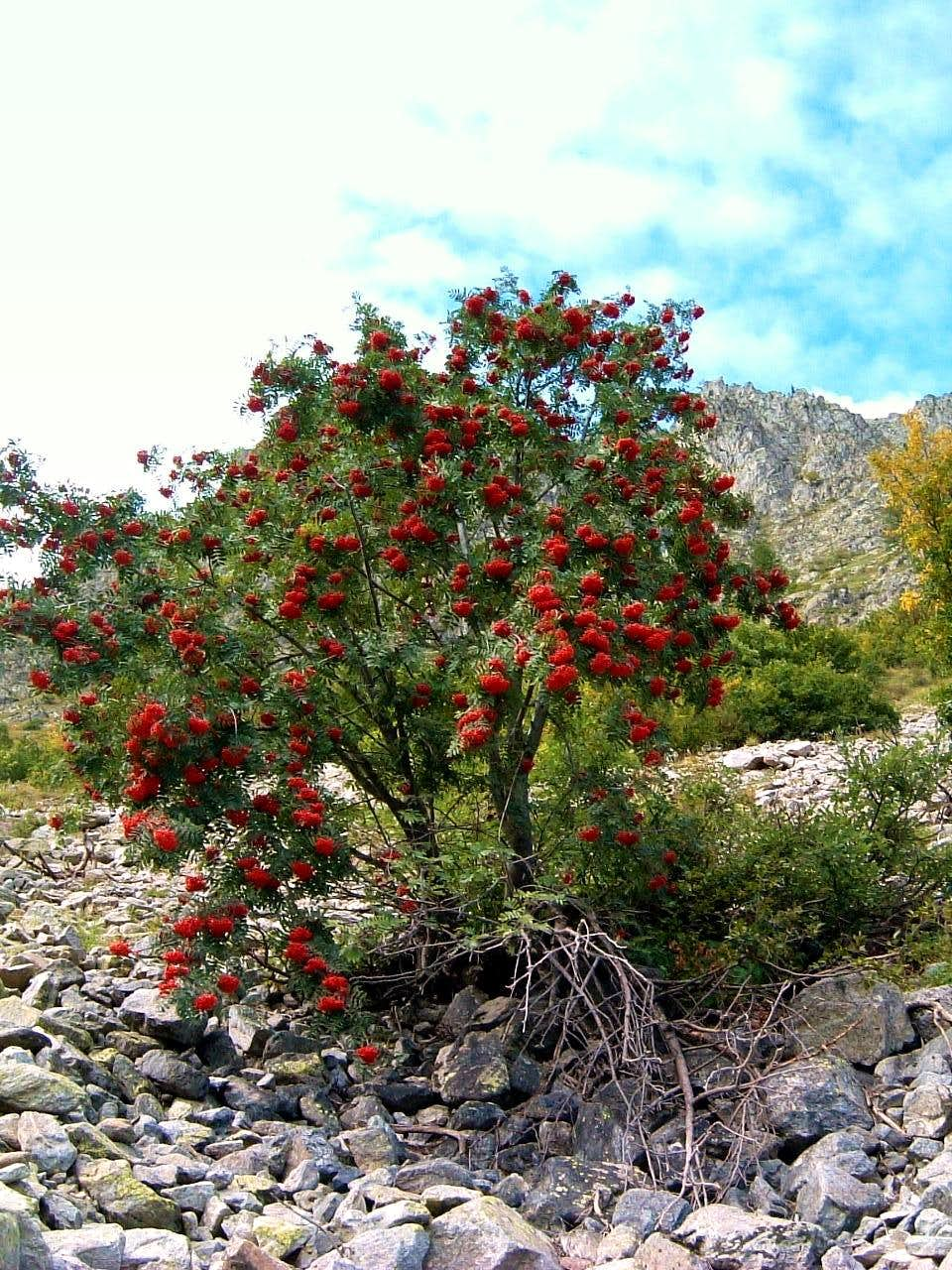 Sorbo degli uccellatori (Sorbus Aucuparia) along the Ischiator Valloon