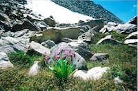 Alpine denizen