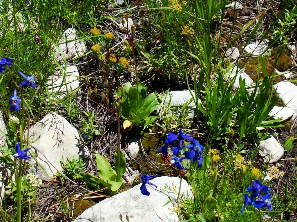 Wildflowers on White Tail Peak