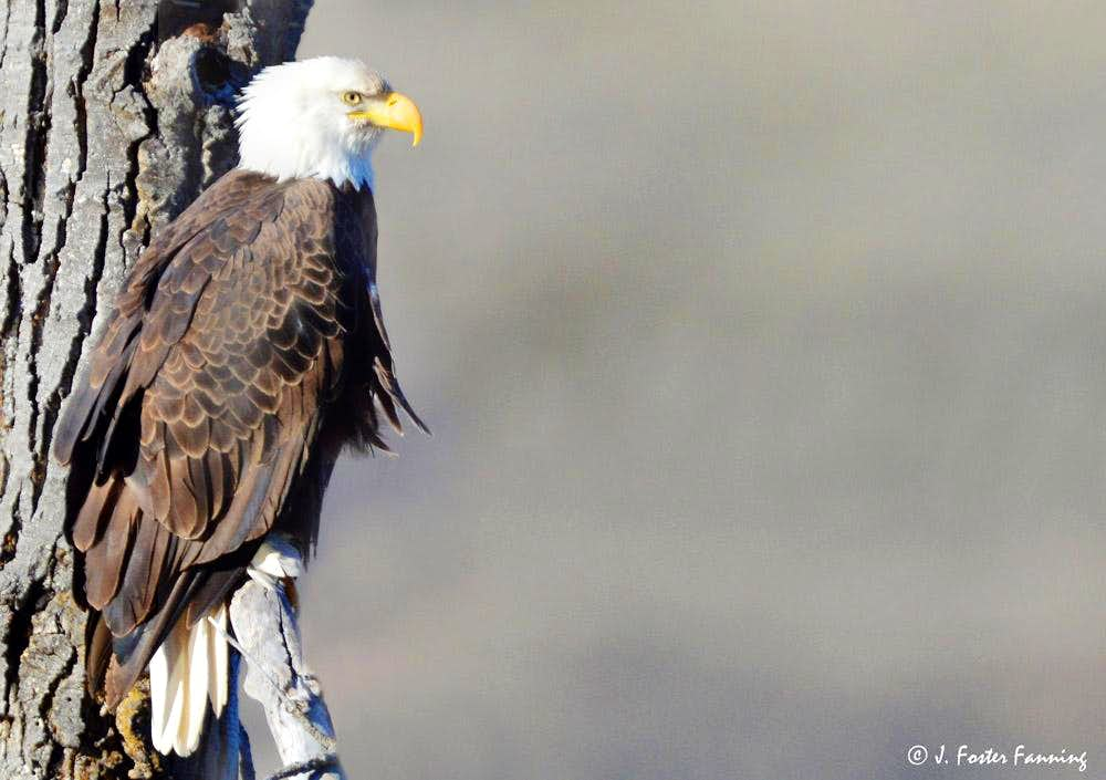 Bald Eagle Okanogan Highlands