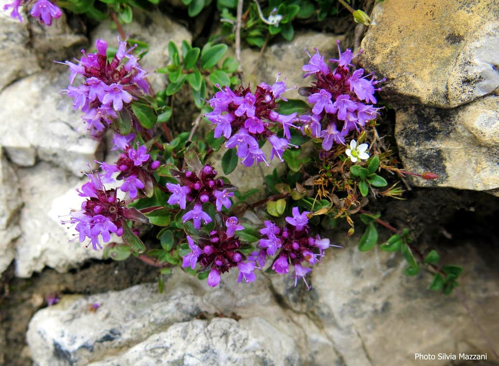 Flora of Sciliar-Catinaccio Natural Park