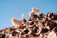 The billy goats on Torreys...