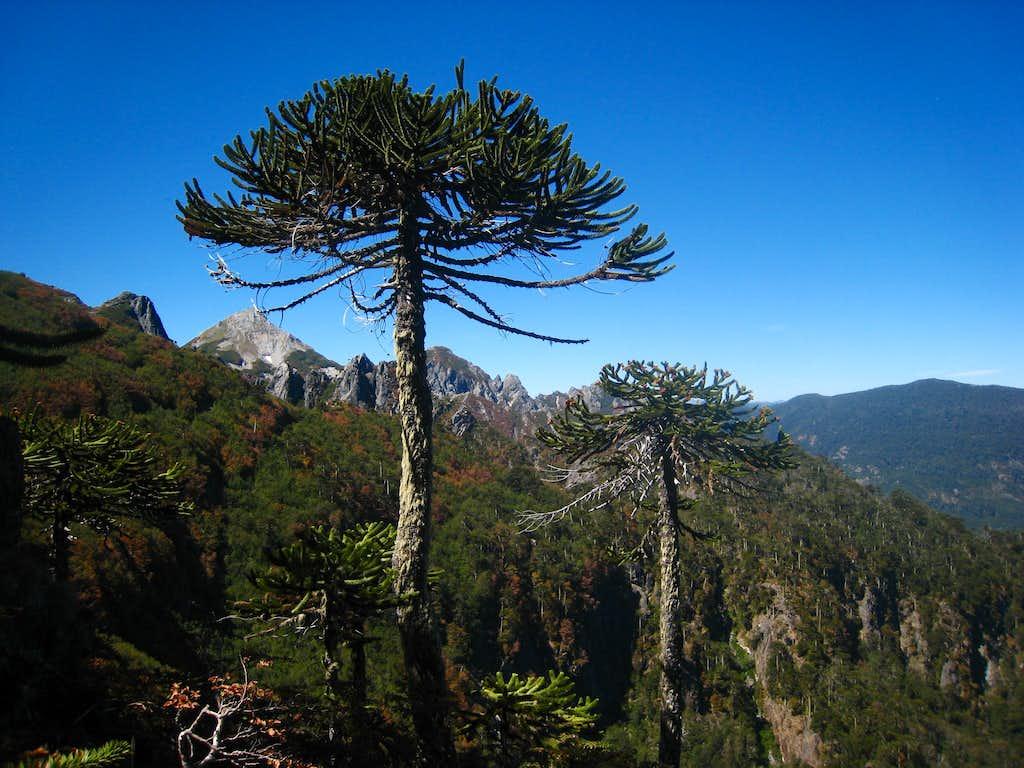 Interesting trees around Pucon