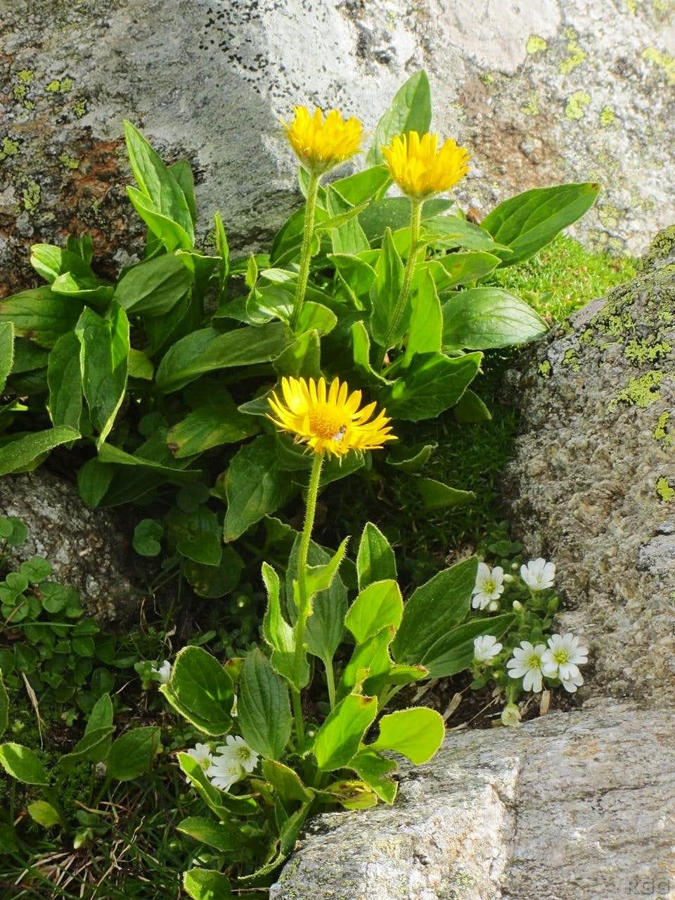 <i>Doronicum</i> on the slopes of the Napfspitz