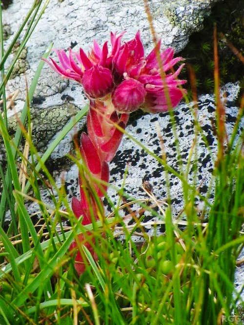 Houseleek (<i>Sempervivum</i>) high on the slopes of Stutennock