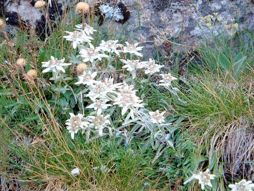 Leontopodium alpinum along the trail to Pointe des Cerces