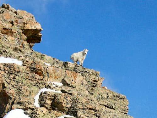 Mountain Goat on Guert's Ridge