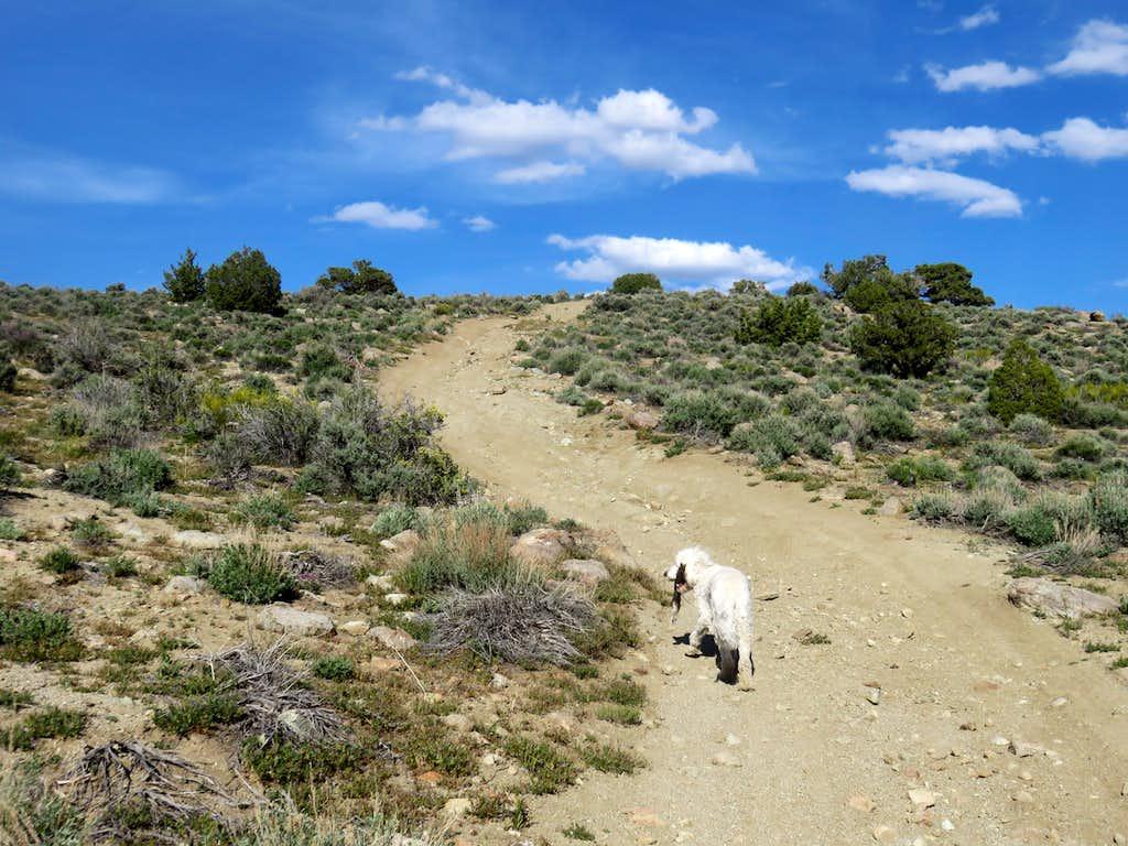 Tahoe dog walking up the road to Peak 5503
