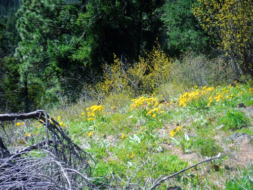 Balsamroot on the slope