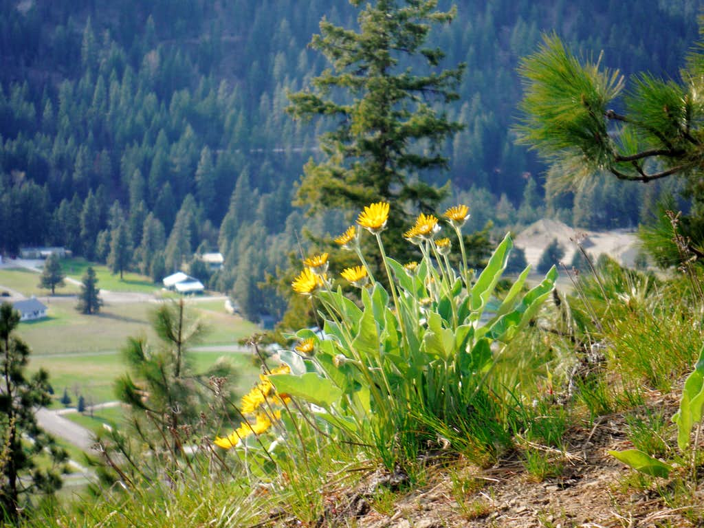 Balsamroot on the slopes