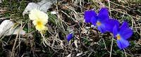 Viola calcarata (Mountain violet)