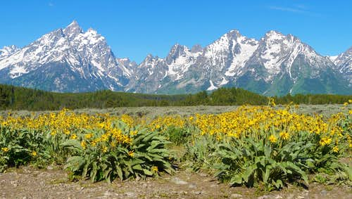 Grand Teton and flowers