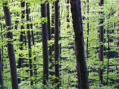 Beech forest in the Papuk Mountains