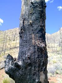 Thunder Butte burned tree