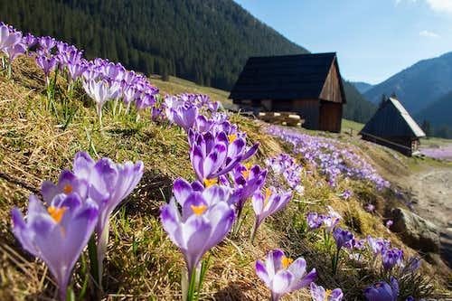 Tatra crocuses