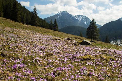 Mount Kominiarski and crocuses