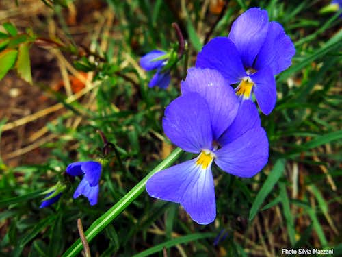 Flora of the Apennines: Viola del Pensiero or Viola Tricolor