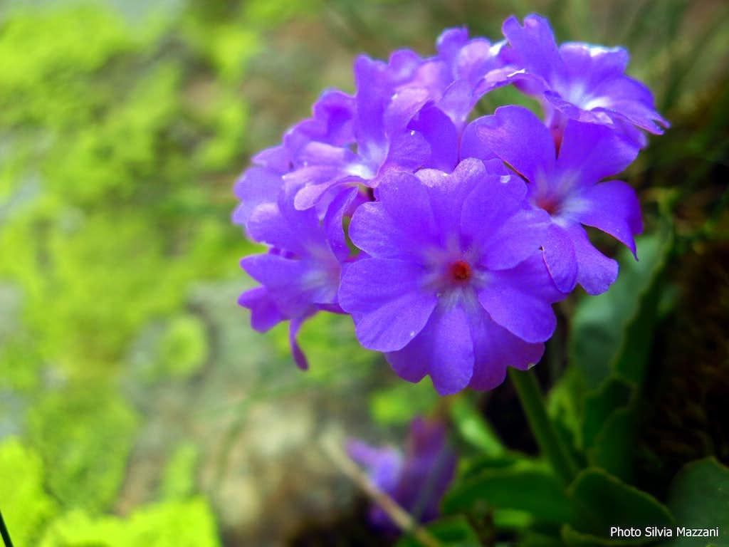 Flora of the Apennines: Primula Apennina (Monte Scala)