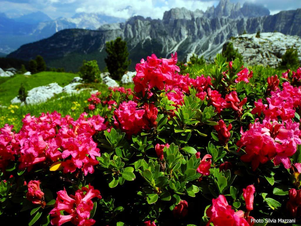 Rododendro or Alpenrose - Passo Giau, Dolomites