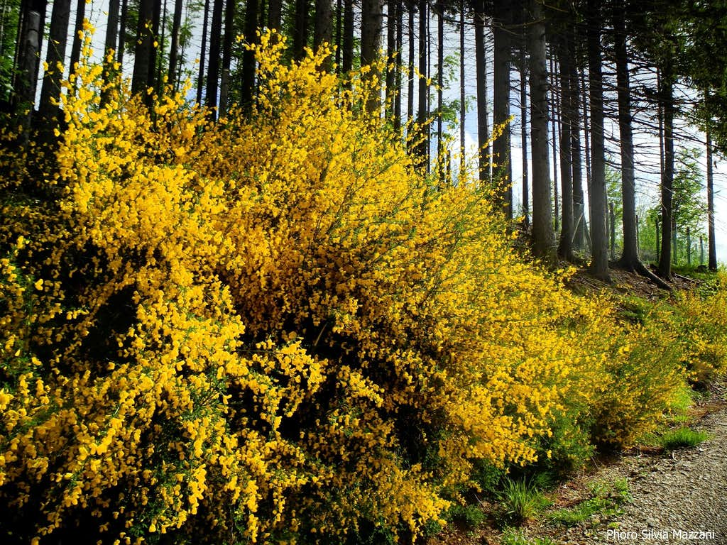 Yellow outburst,  Val Parma forest