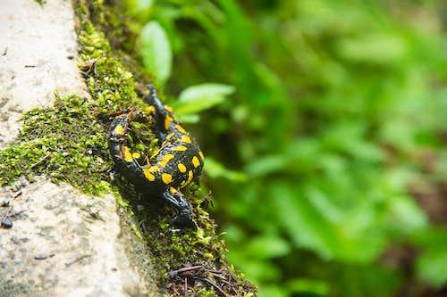 Escaping salamander