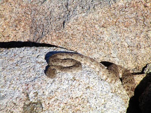 Summit rattlesnake
