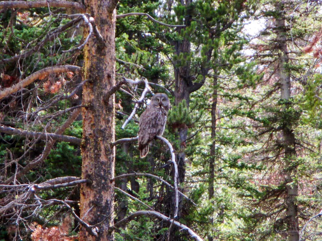 great grey owl : Photos, Diagrams & Topos : SummitPost