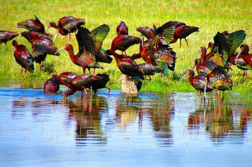 white face ibis