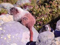 Marmots on Baker