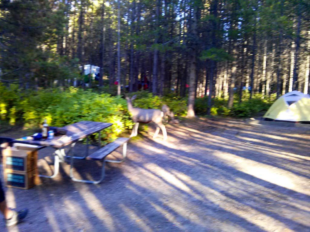 Deer at Campsite