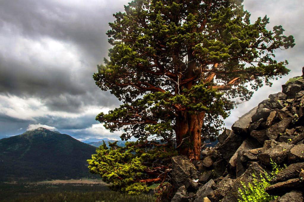 White Bark Pine  on Pickett Peak