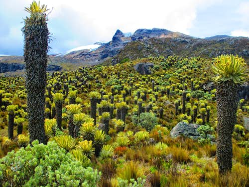 Endemic vegetation near Nevado santa Isabel.