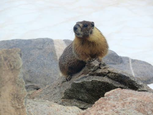 Marmot on Bishop Pass