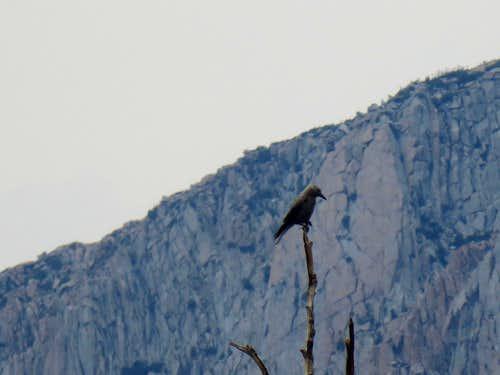 Bird on Bishop Pass trail