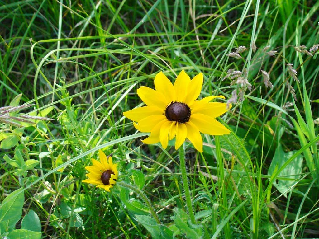Medicine Mountain Wildflower