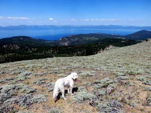 Tahoe (the dog) on Duane Bliss Peak with a view to his namesake
