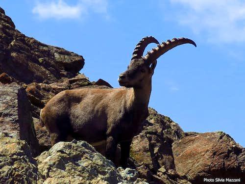 A trustful ibex on upper Malanotte Col, Cristalliera (Orsiera-Rocciavrè Natural Park)