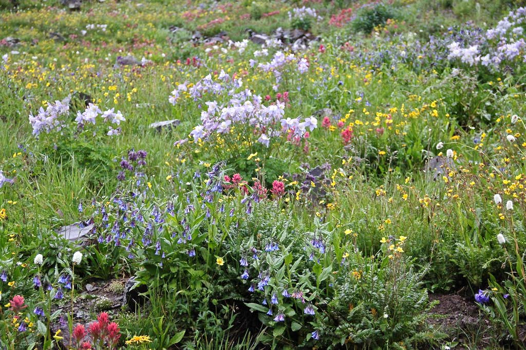 Wildflowers - Stony Pass
